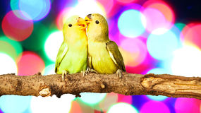 Lovebird on Blurred fairy lights Royalty Free Stock Images