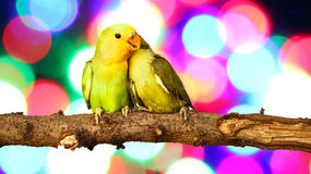 Lovebird on Blurred fairy lights Royalty Free Stock Photo