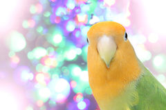 Lovebird on Blurred fairy lights background Stock Images