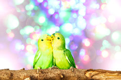 Lovebird on Blurred fairy lights background Royalty Free Stock Photos