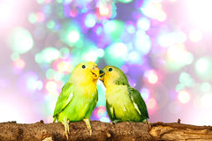 Lovebird on Blurred fairy lights background Royalty Free Stock Image
