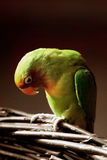 Lovebird bowing its head Royalty Free Stock Images