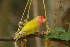 Lovebird on a branch Royalty Free Stock Image