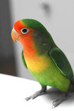 Lovebird with BW background Royalty Free Stock Photography