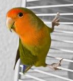 Lovebird Royalty Free Stock Photos