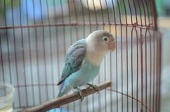 lovebird in the cage stock photo