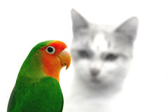 Lovebird and cat danger Stock Images