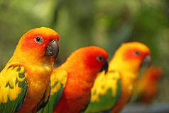 Lovebird Stock Photo
