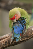 Lovebird Stock Photography