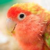 Lovebird. Stock Images