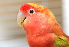 Lovebird. Royalty Free Stock Images