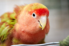 Lovebird. Royalty Free Stock Image