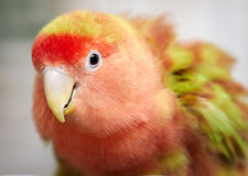 Lovebird. Royalty Free Stock Photography