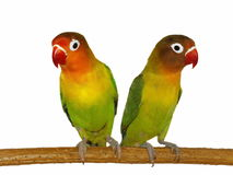 Lovebird d'isolement sur le blanc Photos stock