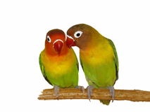 Lovebird d'isolement sur le blanc Images stock
