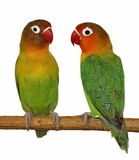 Lovebird d'isolement sur le blanc Photographie stock