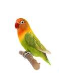 Lovebird d'isolement sur le fischeri blanc d'Agapornis Images libres de droits