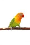 Lovebird d'isolement sur le fischeri blanc d'Agapornis Photographie stock