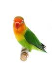 Lovebird d'isolement sur le fischeri blanc d'Agapornis Photos stock