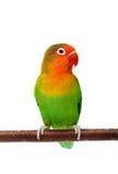 Lovebird d'isolement sur le fischeri blanc d'Agapornis Image stock