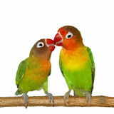 Lovebird do beijo isolado no fundo branco Fotografia de Stock Royalty Free