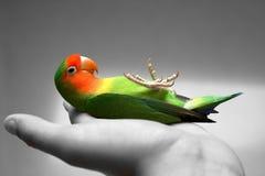 Lovebird el dormir Fotografía de archivo libre de regalías