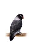 Lovebird enmascarado negro Imagenes de archivo