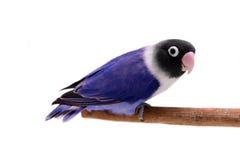 Lovebird enmascarado violeta Fotografía de archivo libre de regalías