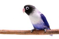 Lovebird enmascarado violeta Foto de archivo libre de regalías