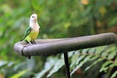 Lovebird Grey-headed image stock