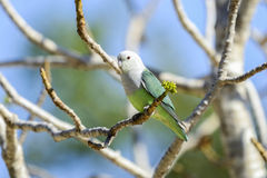 Lovebird Grey-headed, ifaty photographie stock libre de droits
