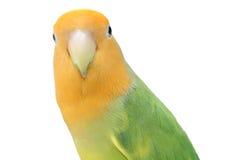 Lovebird on isolated stock photo