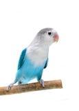 Lovebird isolated on white Agapornis fischeri. (Fischer's Lovebird Clarified blue morph Royalty Free Stock Photo