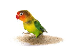 Lovebird isolated on white Agapornis fischeri Royalty Free Stock Image