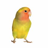 Lovebird isolated on white background Royalty Free Stock Photos