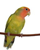 Lovebird isolated on white Stock Photo