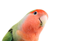 Lovebird looking. Lovebird on an isolated white background Stock Images