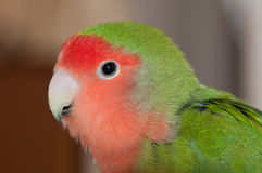 A lovebird looking into the lens Royalty Free Stock Images