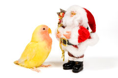 Lovebird is looking at santa. Isolated on white royalty free stock photo