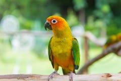 Lovebird lub papugi pozycja na drzewie w parku, Agapornis fischeri Obraz Stock