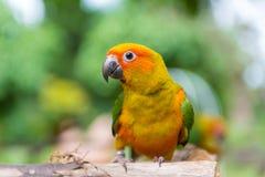 Lovebird lub papugi pozycja na drzewie w parku, Agapornis fischeri Zdjęcie Royalty Free
