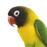 Lovebird mascherato - personata del Agapornis immagini stock libere da diritti