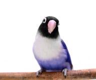 Lovebird mascherato viola immagini stock