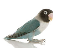 Lovebird masqué bleu - personata d'Agapornis image stock