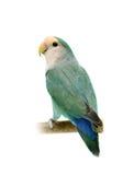 Lovebird Melocotón-hecho frente aislado en blanco Fotos de archivo
