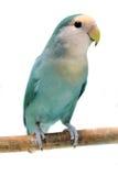 Lovebird Melocotón-hecho frente aislado en blanco Foto de archivo