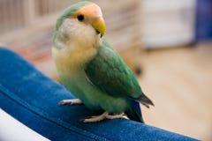 Lovebird mignon Image libre de droits