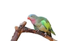 Lovebird mit den rosafarbenen und grünen Federn Lizenzfreie Stockfotos