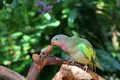 Lovebird mit den rosafarbenen und grünen Federn Lizenzfreie Stockfotografie