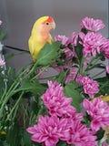 Lovebird na kwiatach obraz royalty free